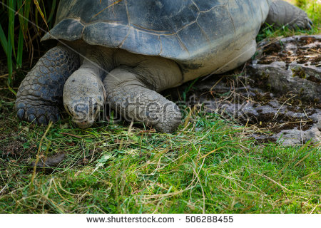 Giant Galapagos Turtle Eating Grass Stock Photos, Royalty.
