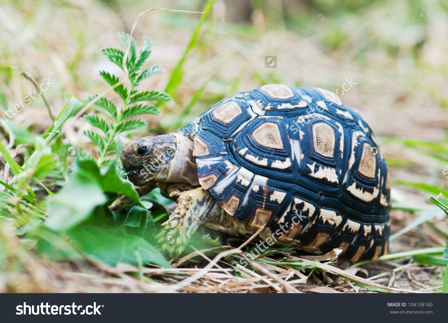 Leopard Tortoise Eating Grass Stock Photo 104158160.