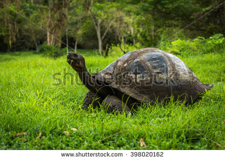 South American Redfooted Tortoise Mating Stock Photo 464239670.
