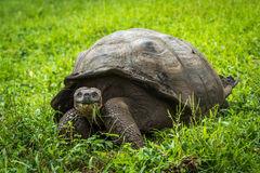 Galapagos Tortoise Eating Stock Image.
