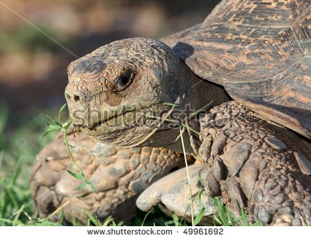 Leopard Tortoise Is Eating Stock Photos, Royalty.