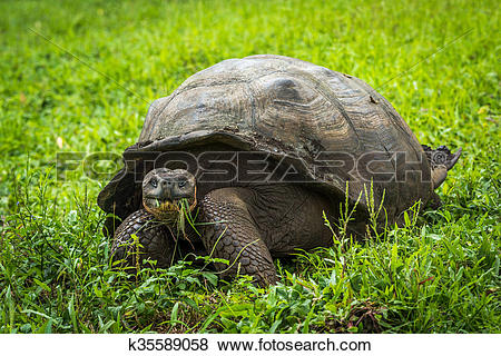 Pictures of Galapagos giant tortoise eating gra k35589058.