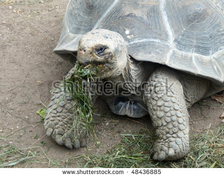 A Slowly Old Turtle Is Eating Grass. Stock Photo 48436885.