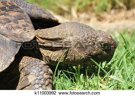 Stock Photo of Turtle eating grass k11003992.