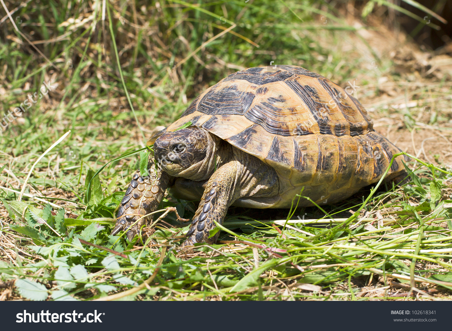 Spurthighed Turtle Eating Grass Testudo Graeca Stock Photo.