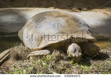 Land Turtle Eating Stock Photos, Royalty.