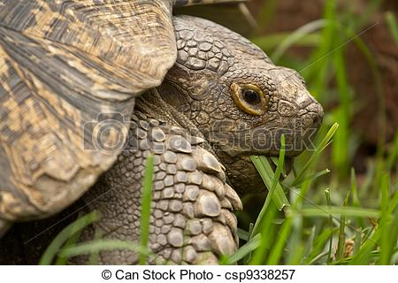 Picture of A turtle eating grass.