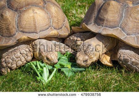 European Tortoise Stock Photos, Royalty.