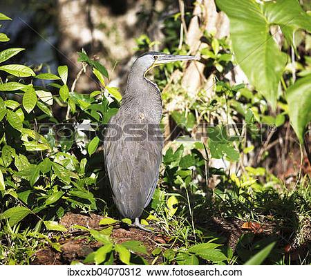 "Stock Photo of ""Tiger Heron (Tigrisoma sp.), Tortuguero National."