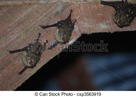 Stock Photographs of Saccopteryx bilineata.