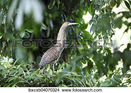 "Stock Photo of ""Tiger Heron (Tigrisoma sp.), Tortuguero National."