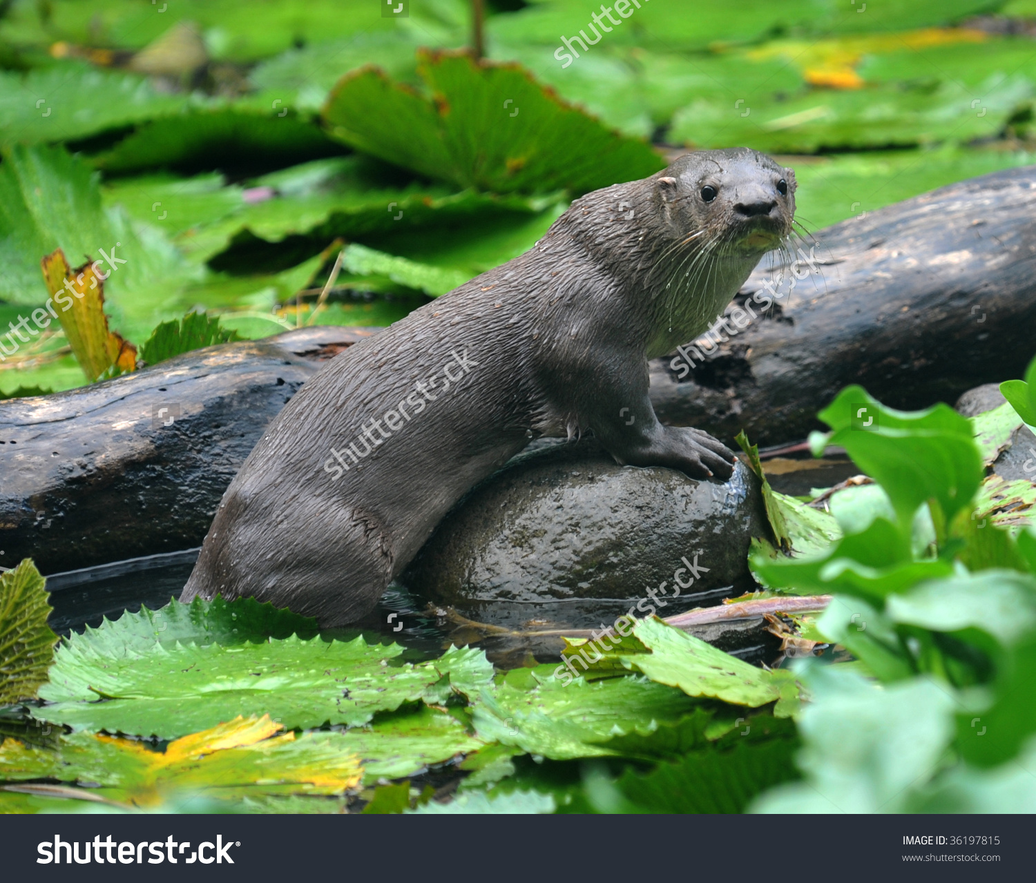 Giant River Otter Standing On Submerged Stock Photo 36197815.