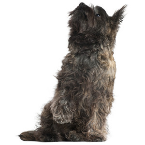 Toto dog clipart.