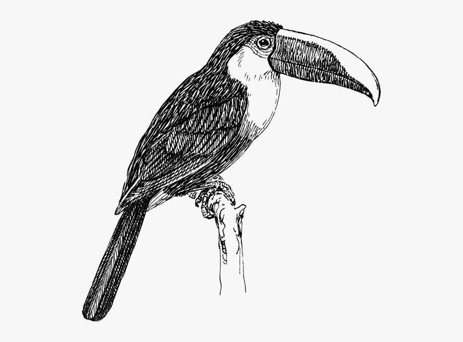 Black And White Toucan #252322.