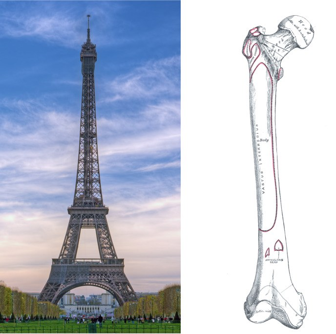 What Your Bones Have in Common With the Eiffel Tower.