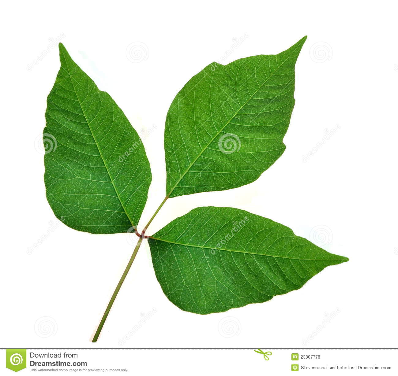 Poison Ivy Leaves (Toxicodendron Radicans) Royalty Free Stock.