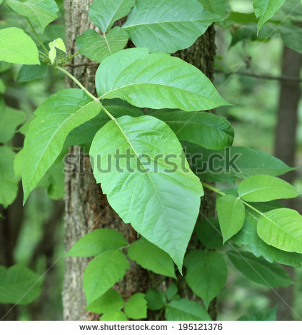 Toxicodendron Radicans Stock Photos, Images, & Pictures.
