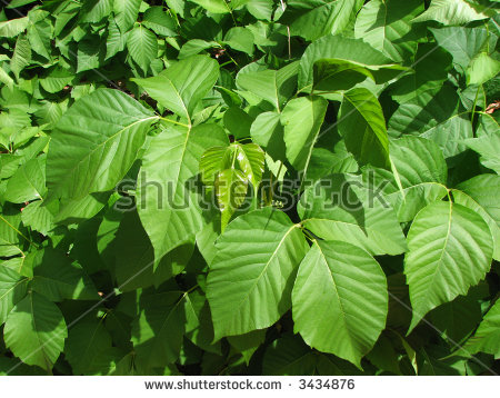 Poison Ivy Stock Photos, Royalty.