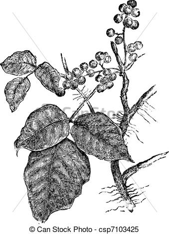 Clipart Vector of Poison ivy (Rhus Toxicodendron), vintage.