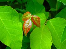 Poison Ivy, Toxicodendron Radicans Royalty Free Stock Images.