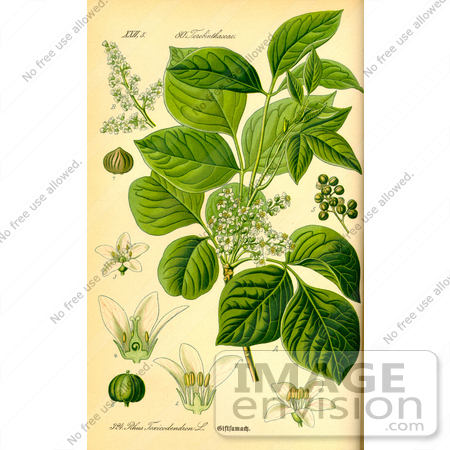 Picture of Poison Ivy (Toxicodendron radicans, Rhus toxicodendron.