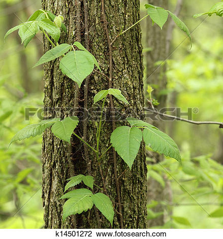 Stock Photo of Poison Ivy, Toxicodendron radicans k14501272.