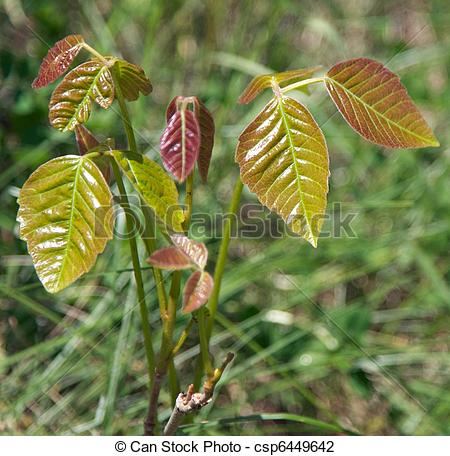 Stock Photo of Poison Ivy Plant.