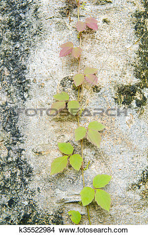 Stock Photo of Poison ivy vine, toxicodendron radicans, growing up.