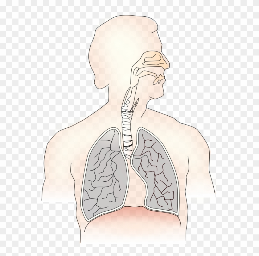 Inhalation Lung Exhalation Respiratory System Trachea.