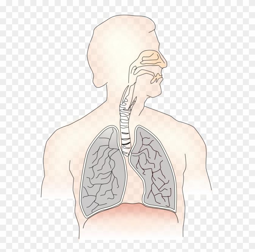 Inhalation Lung Exhalation Respiratory System Trachea.
