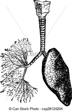Vector Clipart of The trachea and bronchi leading air to the lungs.