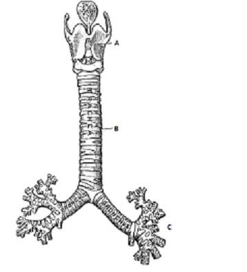 Artificial Trachea, by Ian Costello.