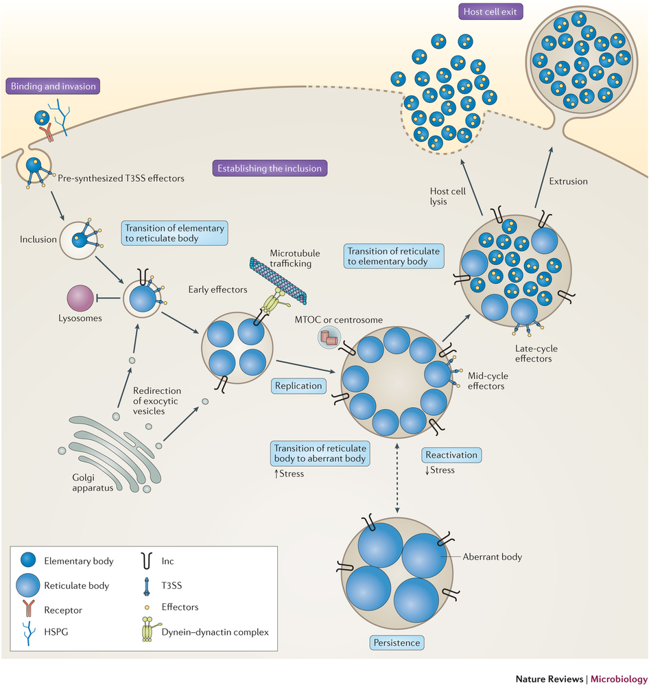 The life cycle of Chlamydia trachomatis. : Chlamydia cell biology.