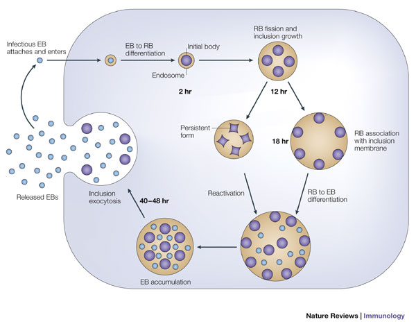 Figure 2 : Immunology of Chlamydia infection: implications for a.