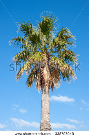 Trachycarpus Fortunei Stock Photos, Royalty.