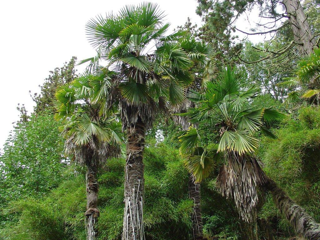 Trachycarpus fortunei clipart #3