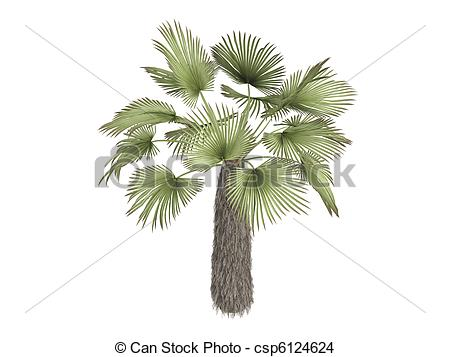 Drawings of Windmill palm or Trachycarpus fortunei.