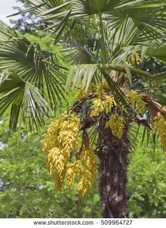 Trachycarpus Stock Photos, Royalty.