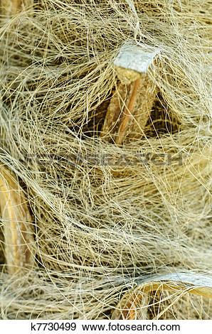 Stock Photograph of Windmill palm (Trachycarpus fortunei) trunk.