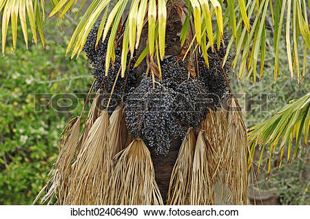 "Stock Photography of ""Chusan Palm or Chinese Windmill Palm."