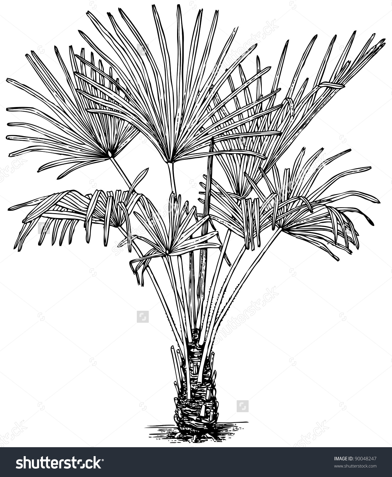 Plant Trachycarpus Fortunei Windmill Palm Stock Vector 90048247.