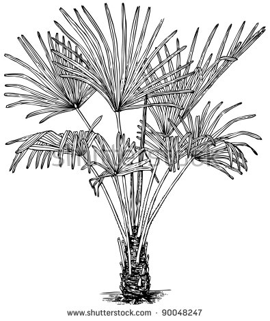 Trachycarpus Fortunei Stock Photos, Royalty.