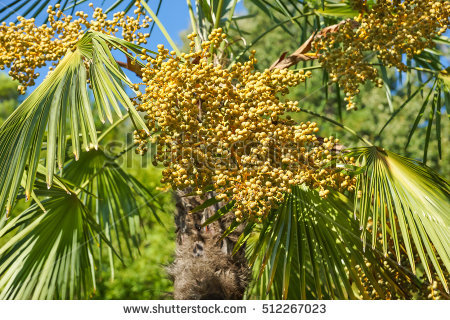 Trachycarpus Stock Photos, Royalty.