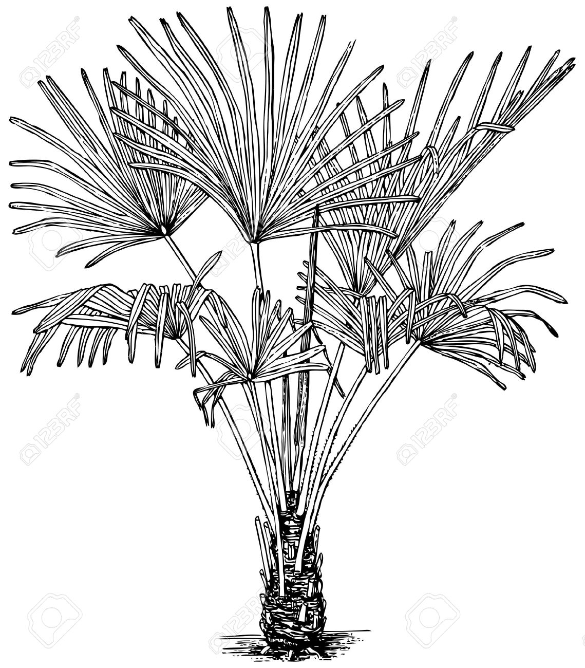Plant Trachycarpus Fortunei (Windmill Palm) Isolated On White.