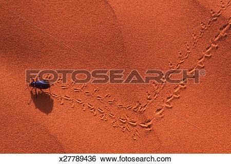 Stock Images of Darkling beetle leaving tracks in sand, overhead.