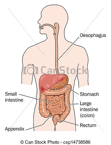 Gastrointestinal Clip Art and Stock Illustrations. 2,603.