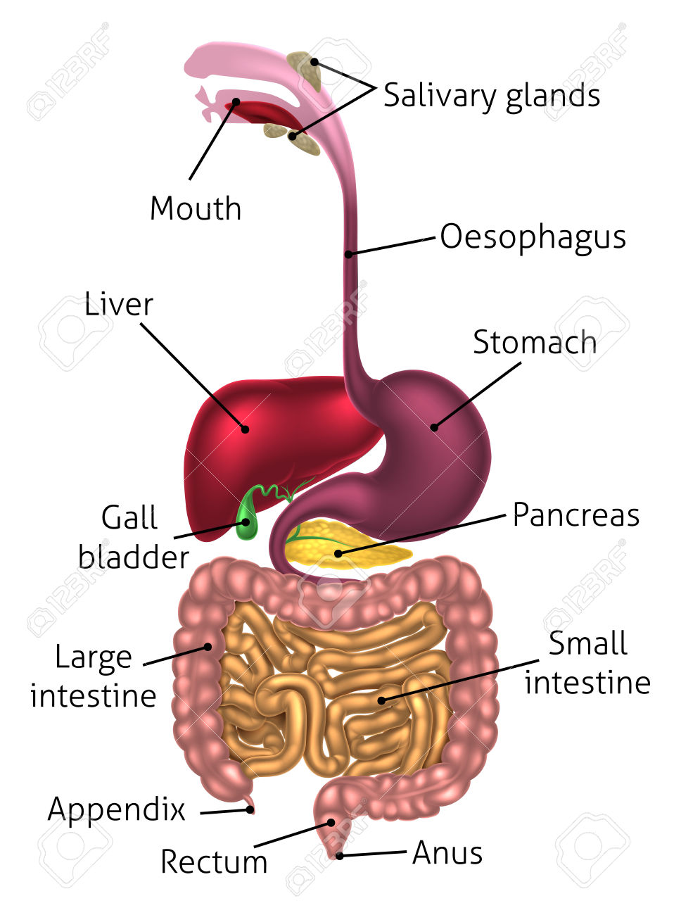 1,507 Digestive Tract Stock Vector Illustration And Royalty Free.