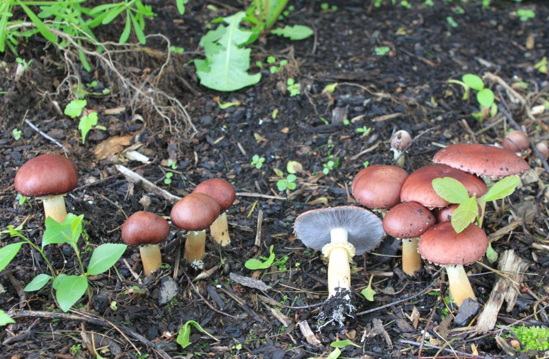 30 g Samen Wein CAP Myzel Träuschling von MushroomMycelium auf Etsy.