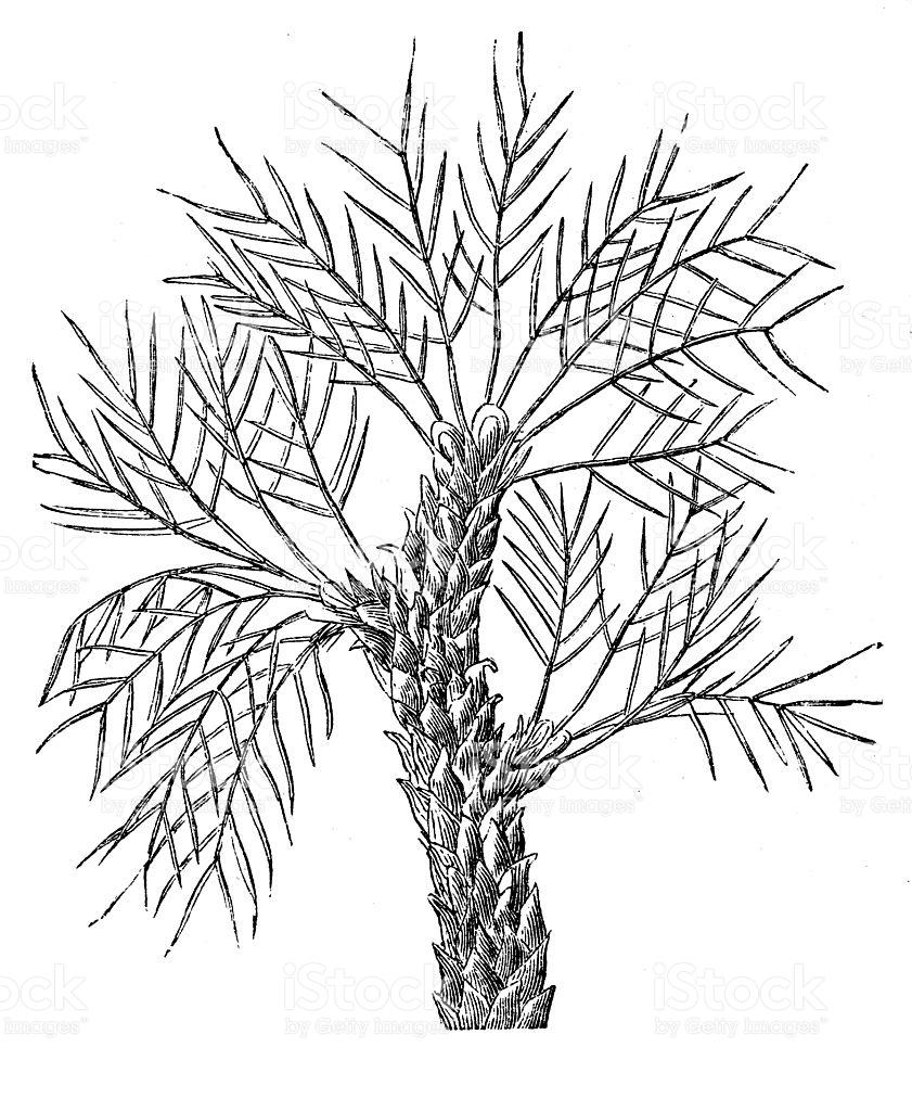 Tragacanth Gum Tree stock vector art 606218126.