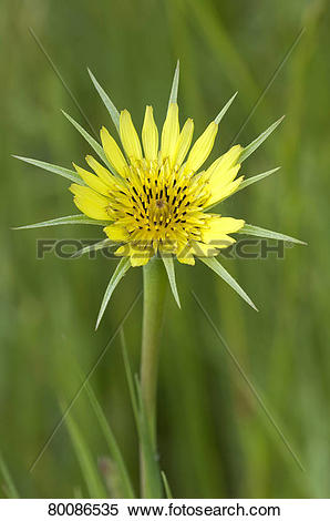Stock Image of DEU, 2011: Meadow Salsify (Tragopogon pratensis.
